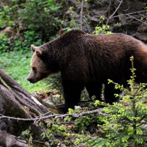 Montana man survives grizzly bear attack