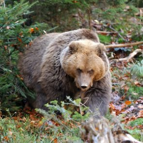 Montana hunters survive grizzly bear attack