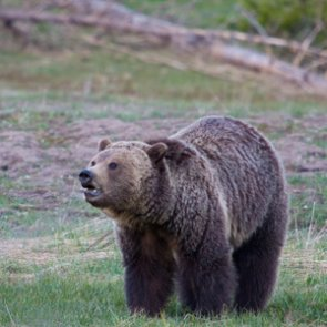 Pheasant hunters kill grizzly in self-defense