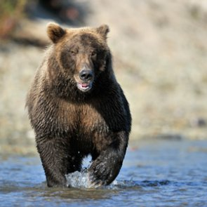 No grizzly hunt in Montana