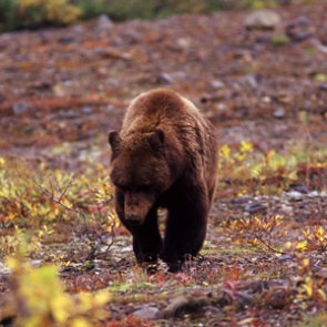 Montana moves forward with grizzly bear management plan for Northern Continental Divide Ecosystem