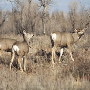 Montana teens guilty of poaching ten mule deer