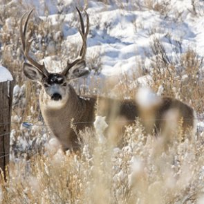 Another Montana mule deer tests positive for CWD