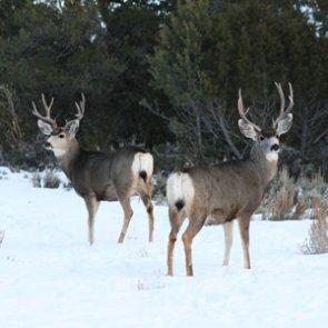 """65 deer harvested last week during Montana CWD """"special"""" hunt"""