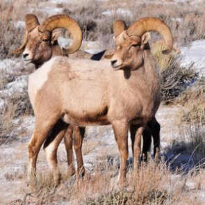 Is a Montana landowner's push to graze domestic animals dangerous to bighorn sheep?