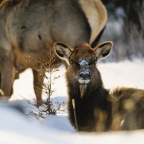 Elk shoulder season could see some changes for 2019
