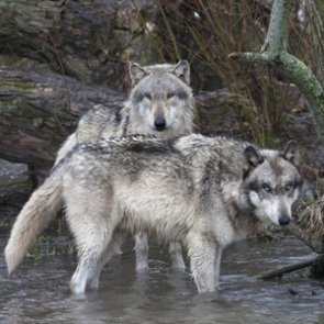 Montana wolf populations remain strong
