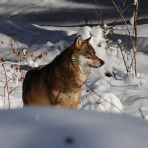 Montana governor given warning after trapping and shooting wolf near Yellowstone