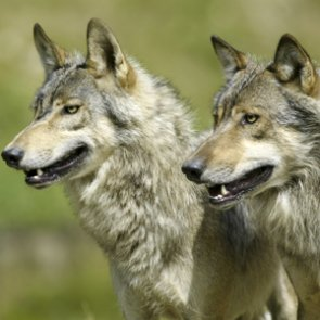 Montana announces changes to wolf trapping and hunting seasons