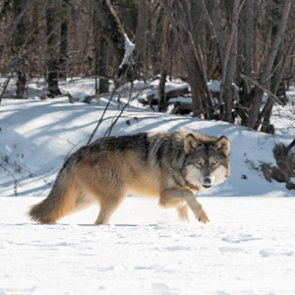 Montana wolf management may see changes