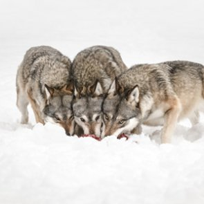 Montana tables bill to prohibit wolf hunting and trapping