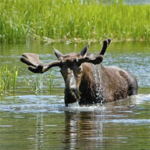 Two men face charges for drunken moose video