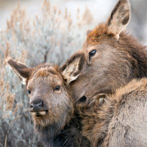 Montana to study elk calf mortality
