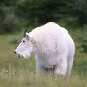 Grand Teton proposes killing or relocating mountain goats to save bighorn sheep