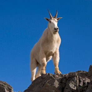 Goat fight in Utah heats up