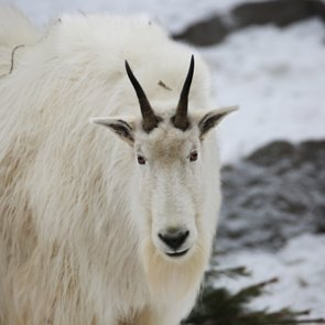 29 mountain goats remain in Teton Range