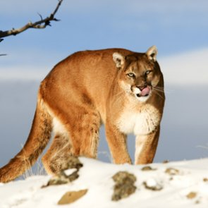 Hunter defends viral mountain lion video and photo