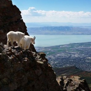 What's happening to Utah mountain goats?