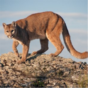 Mountain lion removed for killing Arizona bighorn