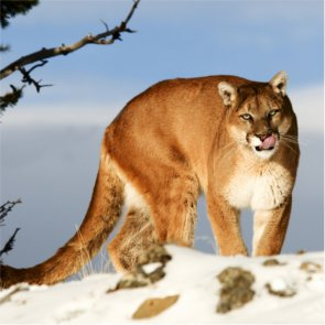 Mountain lions kill three bighorn ewes in Catalina Mountains