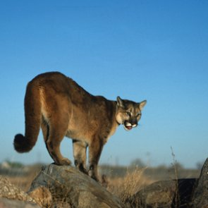 More mountain lion permits for 2018?