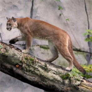 Utah expands mountain lion hunting opportunity