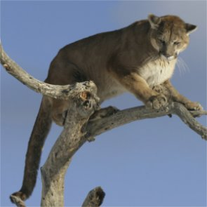 Colorado man sentenced for poaching mountain lions and bobcats