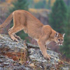 Washington man guilty of poaching cougar