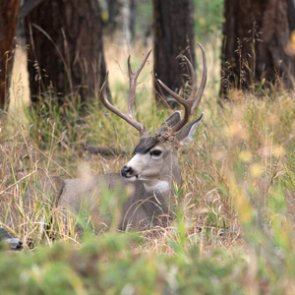 Montana approves urban mule deer cull