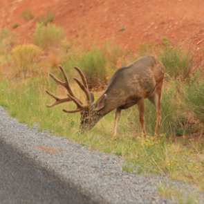 New Mexico deer-vehicle collisions highest in June