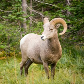 Nebraska authorizes 2021 bighorn sheep season