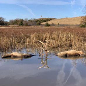 Fighting bull elk drown in Nebraska pond