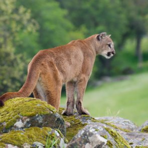 Nebraska approves 2019 mountain lion season
