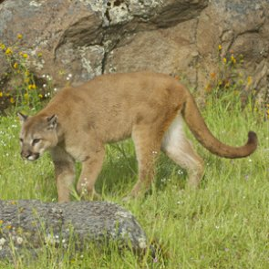 Confirmed livestock kill in Nebraska equals a dead mountain lion