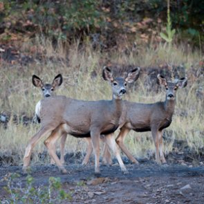 Nevada mule deer populations continue to decline