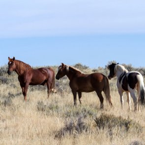 Lawsuit hopes to halt Nevada wild horse removal