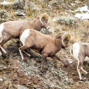 New Mexico plans to eliminate 50 more bighorn sheep