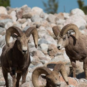 New Mexico proposes changes to bighorn sheep and javelina for 2019