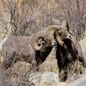 New Mexico removes bighorn sheep from Rio Grande Gorge herd