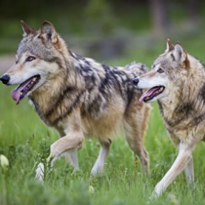 Mexican gray wolf keeps endangered status