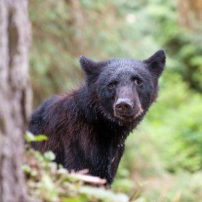 New Yorkers harvest over 1,700 black bears in 2020