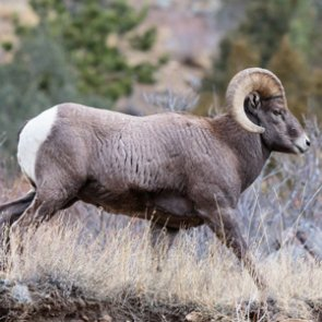 North Dakota allocates three bighorn sheep licenses for 2018 season