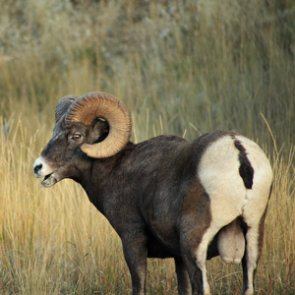 North Dakota added another bighorn sheep license for the season