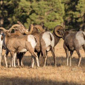 North Dakota allocates five bighorn sheep licenses