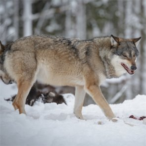Oregon will not authorize killing of wolves