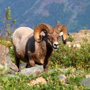 Oregon collars bighorn sheep to track disease