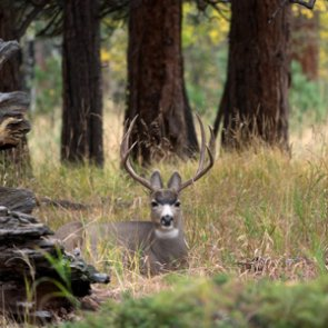 Two Oregon mule deer bucks poached