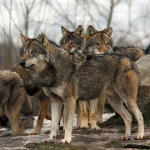 Oregon removes two more wolves from Harl Butte pack