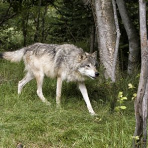 Oregon ranchers say wolves should be delisted