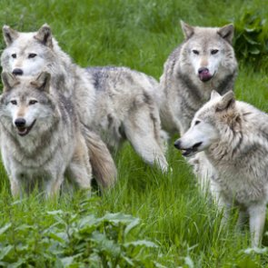 Oregon authorizes lethal removal of four Harl Butte wolves